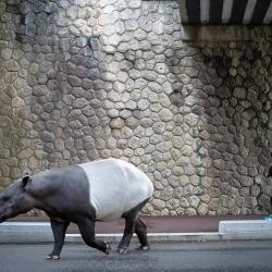 w-tapir
